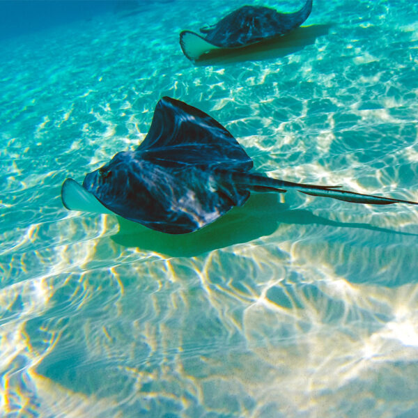 Stingray City is the most fun 20-foot dive in the Caribbean